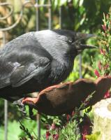 Jackdaw with full crop of mealworms