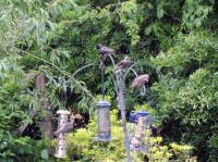 Young Starlings feeding, and being fed with, Utterly Butterly fat balls