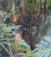 Drudwy Pen Goch -Red head starling.. there are 4 altogether vivid red heads!