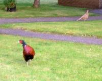 "Male Pheasant In My Garden Posing: ""Is This My Best Side"" He Says?:0)"