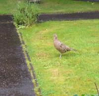 Female Pheasant In My Front Garden Waiting For Food