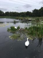 Family of swans, mum dad and cygnets taken i Scottish Highlands