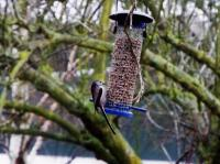 Long tailed tit, enjoying Twootz suet