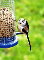 Long tailed tit loves twootz suet