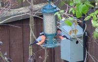 We counted 6 male bullfinches today all queuing up for the feeders - must be the Twootz sunflower hearts!