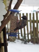 starling loving Twootz suet pellets