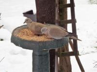 collared doves enjoying a mixture of Twootz straights