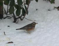 Excited first Redwing ever seen!
