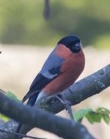 First time I have ever seen a bullfinch in my garden.