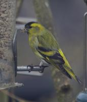 and another first in our garden. a male Siskin