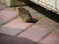 "Baby Robin.  ""I want my mum"""