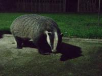 Mr Badger enjoying his evening peanuts