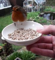 One of a pair of Robins who we can hand feed Twootz Sunflower hearts. We see them two or three times a day. They don't like feeding together though, a bit of 'arguing' goes on..