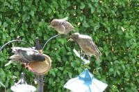 Mum Starling getting ready to meed chicks - they love the Twootz Coconut feeders.
