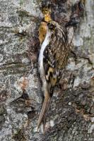 Even the Treecreeper loves the Peanut Buttery Mix.