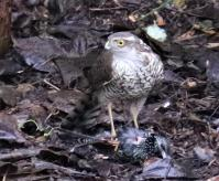 The problem with feeding the birds is that it becomes a buffet for the sparrowhawk!